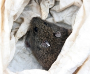 Heath mouse psuedomys shortridgeii