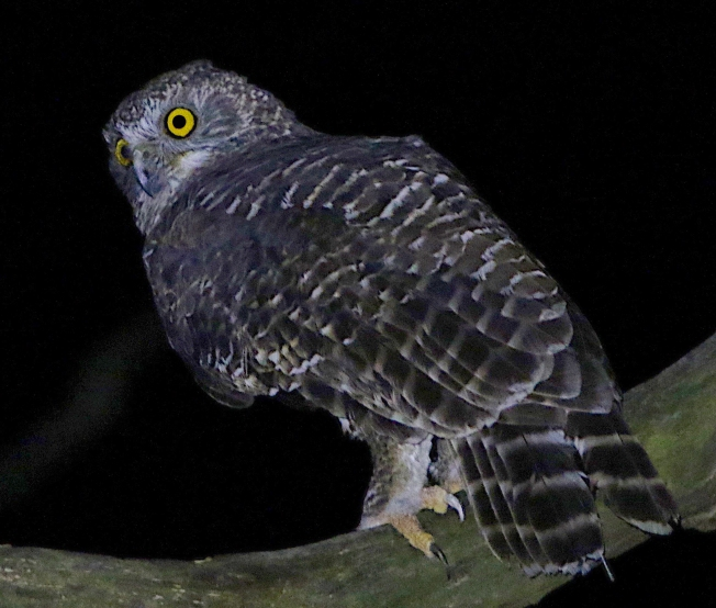 Powerful owl after release