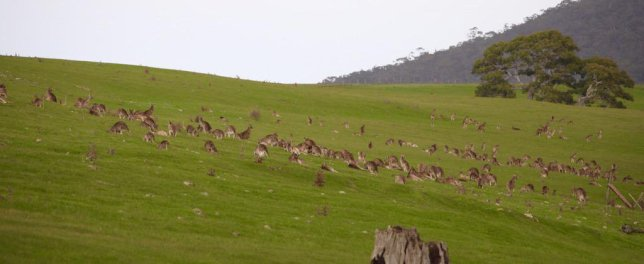 kangaroos-in-the-grampians
